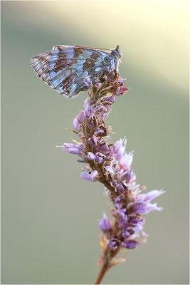 Ähnlicher Perlmuttfalter (Boloria napaea), Italien, Region Aostatal, 2000m