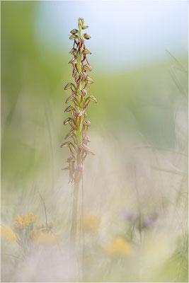 Ohnsporn (Orchis anthropophora), Frankreich, Drôme