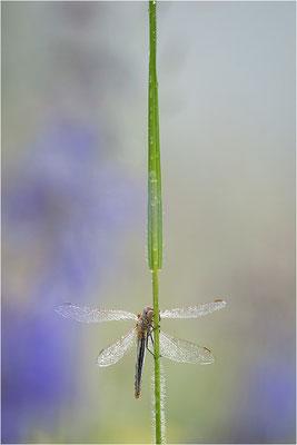 Frühe Heidelibelle (Sympetrum fonscolombii), Deutschland, Baden-Württemberg