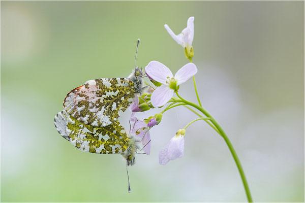 Aurorafalter (Anthocharis cardamines), Paarung, Deutschland, Baden-Württemberg