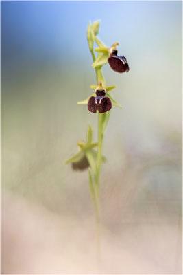 Ophrys caloptera (?), Plaines-des-Maures, Var