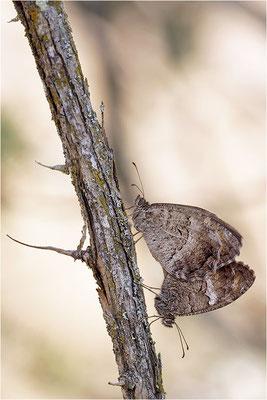 Rotbindiger Samtfalter (Arethusana arethusa), Paarung, Frankreich, Drôme
