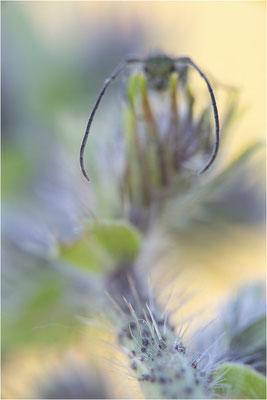 Dichtpunktierter Walzenhalsbock (Opsilia coerulescens), Mittelbaden, Baden-Württemberg, Deutschland
