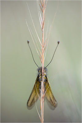 Gelber Schmetterlingshaft (Libelloides ictericus corsicus), Männchen, Korsika