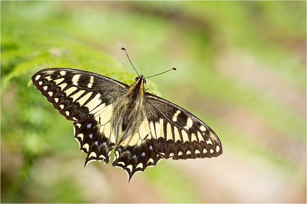 Korsischer Schwalbenschwanz (Papilio hospiton), Männchen, Frankreich, Zentralkorsika