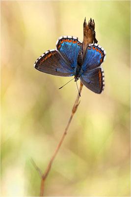 ein prächtiges Weibchen des Himmelblauen Bläulings (Polyommatus bellargus)
