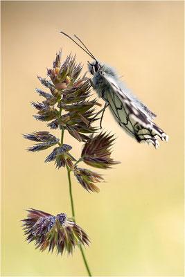 Schachbrettfalter (Melanargia galathea), Männchen, Deutschland, Baden-Württemberg
