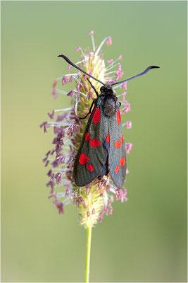 Sechsfleck-Widderchen (Zygaena filipendulae), Italien, Piemont