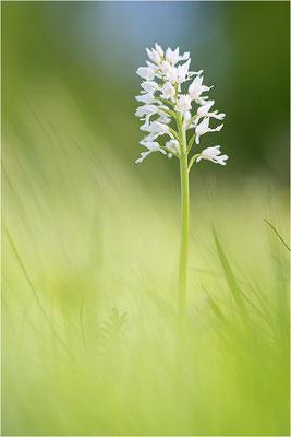 Helm-Knabenkraut (Orchis militaris), Albino, Deutschland, Baden-Württemberg