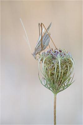 Lilienblatt-Sichelschrecke (Tylopsis lilifolia), Männchen, Frankreich, Drôme