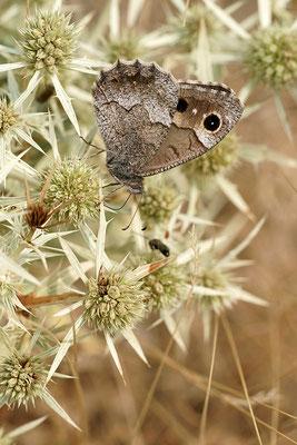 Eisenfarbiger Samtfalter (Hipparchia statilinus), Frankreich, Drôme
