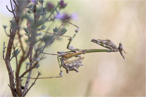 Hauben-Fangschrecke (Empusa pennata), Larve, Frankreich, Ardèche