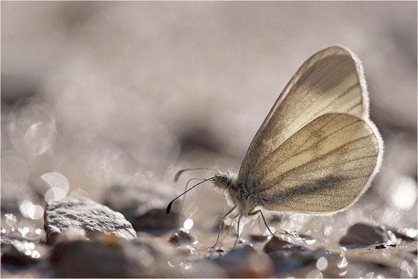 Tintenfleck-Weißling (Leptidea sinapis bzw. juvernica), Männchen, Deutschland, Baden-Württemberg