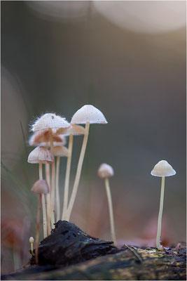 Rostfleckiger Helmling (Mycena zephirus) mit Helmlings-Schimmel (Spinellus fusiger), Deutschland, Baden-Württemberg