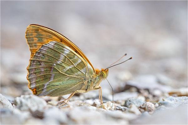Kaisermantel (Argynnis paphia), Deutschland, Baden-Württemberg