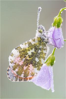Aurorafalter (Anthocharis cardamines), Männchen, Deutschland, Baden-Württemberg