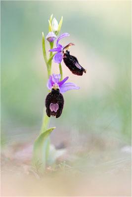 Ophrys aurelia, Var