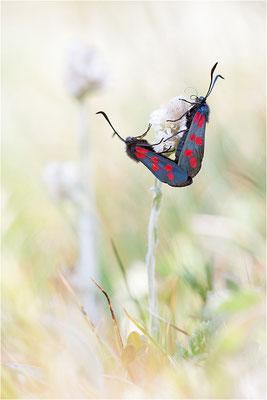 Sechsfleck-Widderchen (Zygaena filipendulae), Paarung, Schweiz, Wallis
