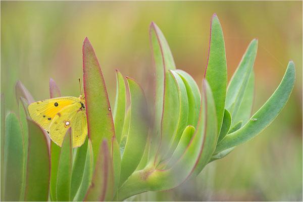 Postillon (Colias croceus), Frankreich, Korsika