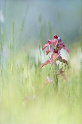Verkannter Zungenstendel (Serapias neglecta), Frankreich, Var