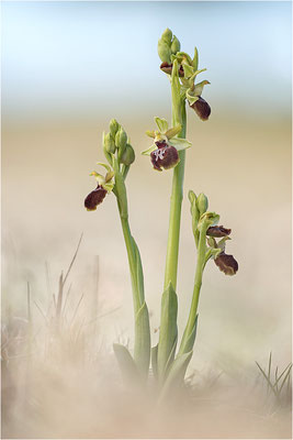 Ophrys provencalis