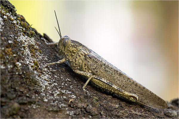Ägyptische Wanderheuschrecke (Anacridium aegyptium), Weibchen, Frankreich, Ardèche