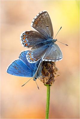 Himmelblauer Bläuling (Polyommatus bellargus), Weibchen und Hauhechel-Bläuling (Polyommatus icarus), Männchen, Deutschland, Baden-Württemberg