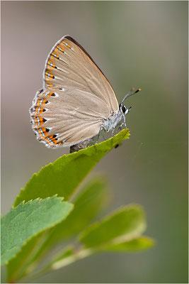 Spanischer Blauer Zipfelfalter (Laeosopis roboris), Frankreich, Ardèche