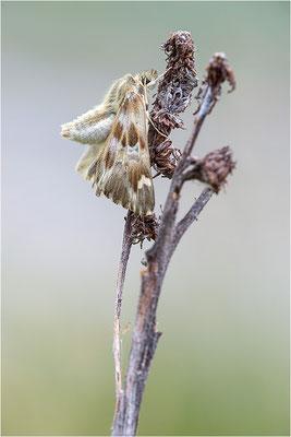 Loreley-Dickkopffalter (Carcharodus lavatherae), Italien, Region Aostatal, 1400m