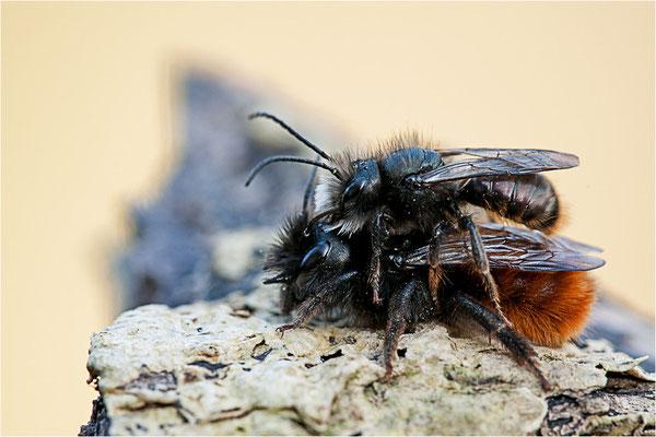 Gehörnte Mauerbiene (Osmia cornuta), Deutschland, Baden-Württemberg