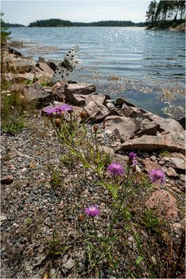 Roter Apollo (Parnassius apollo apollo), Schweden, Småland