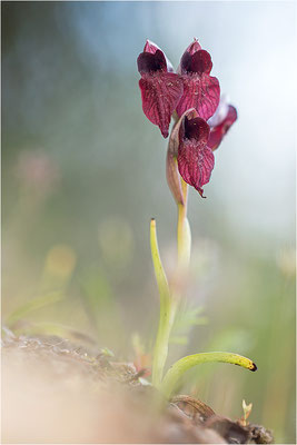 Herzförmiger Zungenstendel (Serapias cordigera), Korsika
