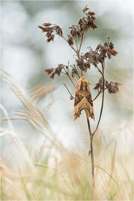 Achateule (Phlogophora meticulosa), Deutschland, Mecklenburg-Vorpommern