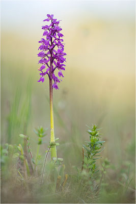 Manns-Knabenkraut (Orchis mascula), Schweden, Farö