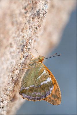 Kaisermantel (Argynnis paphia), Männchen, Frankreich, Ardèche