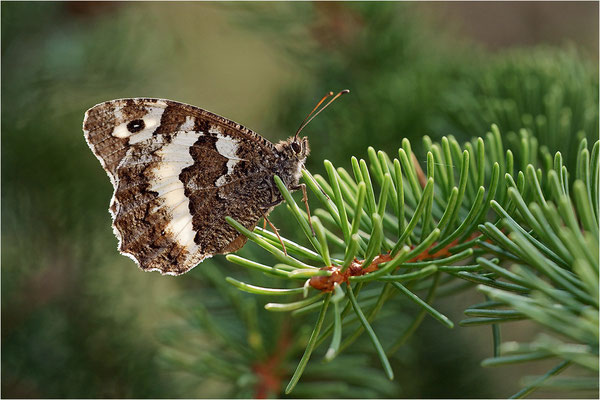 Weißer Waldportier (Brintesia circe), Frankreich, Haute-Loire