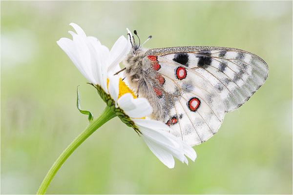 Roter Apollo (Parnassius apollo calmensis), Schweiz, Kanton Fribourg