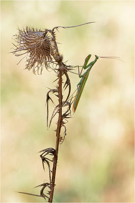 Europäische Gottesanbeterin (Mantis religiosa), Männchen, Deutschland, Baden-Württemberg