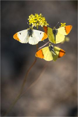 Gelber Aurorafalter (Anthocharis euphenoides), Werbeverhalten, Frankreich, Ardèche