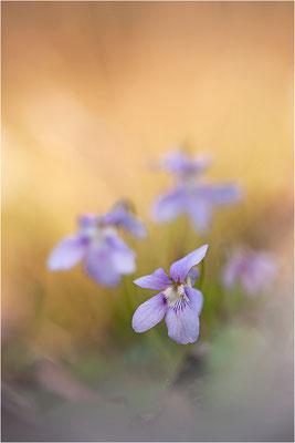 Veilchen (Viola spec.), Deutschland, Baden-Württemberg