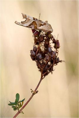 Achateule (Phlogophora meticulosa), Deutschland, Baden-Württemberg