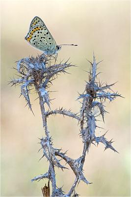 Brauner Feuerfalter (Lycaena tityrus), Männchen, Frankreich, Ardèche