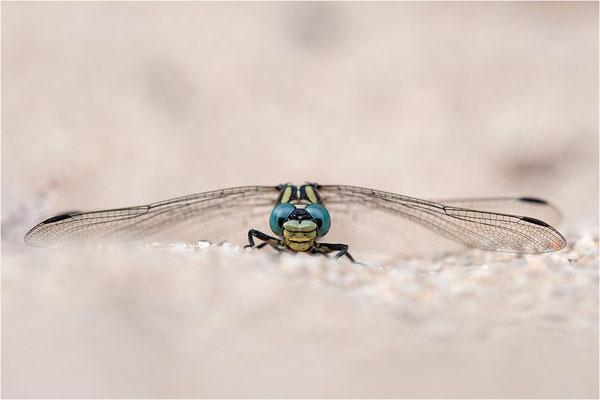 Kleine Zangenlibelle (Onychogomphus forcipatus unguiculatus), Frankreich, Ardèche