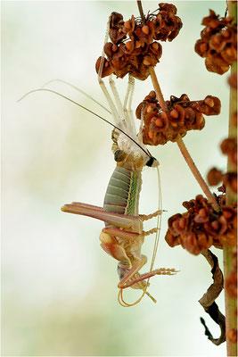 Steppen-Sattelschrecke (Ephippiger diurnus), Männchen bei der Imaginalhäutung, Frankreich, Haute-Loire