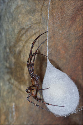Höhlenradnetzspinne (Meta menardi), Weibchen mit Eikokon, Dänemark, Mön, Hügelgrab