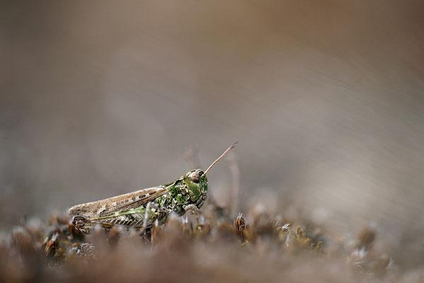 Gefleckte Keulenschrecke (Myrmeleotettix maculatus), Weibchen, Deutschland, Brandenburg