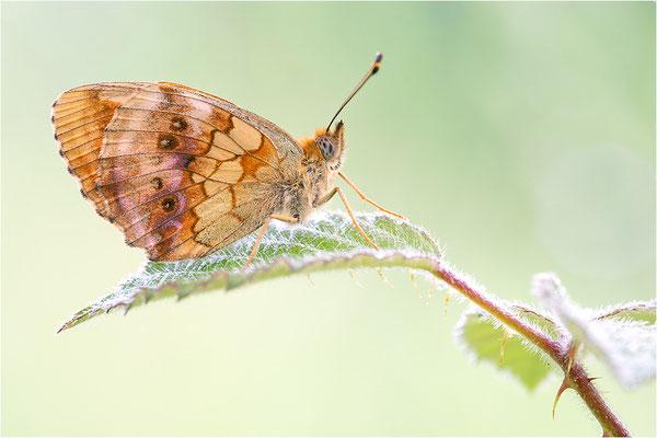 Brombeer-Perlmuttfalter (Brenthis daphne), Deutschland, Baden-Württemberg