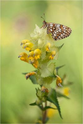 Ehrenpreis-Scheckenfalter (Melitaea aurelia), Weibchen, Schweiz, Wallis