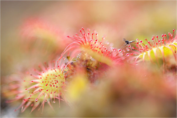 Rundblättriger Sonnentau (Drosera rotundifolia), Schweden, Bohuslän