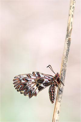 Südlicher Osterluzeifalter (Zerynthia polyxena), Weibchen, Frankreich, Aude